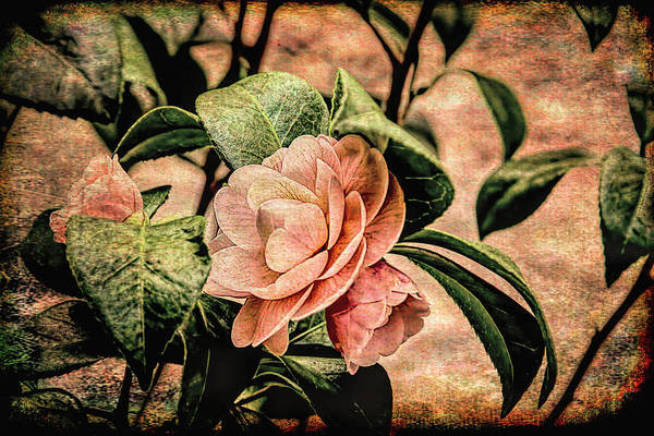 Photograph - Camellia Grunge by Kay Brewer