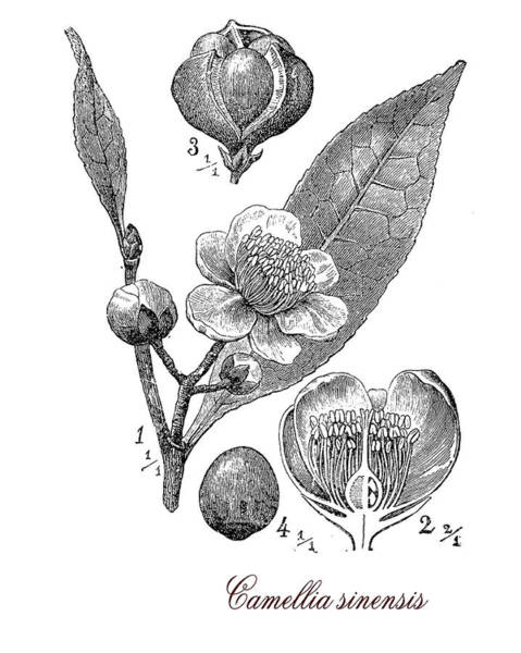 Cultivation Digital Art - Camellia Sinensis, Botanical Vintage Engraving by Luisa Vallon Fumi