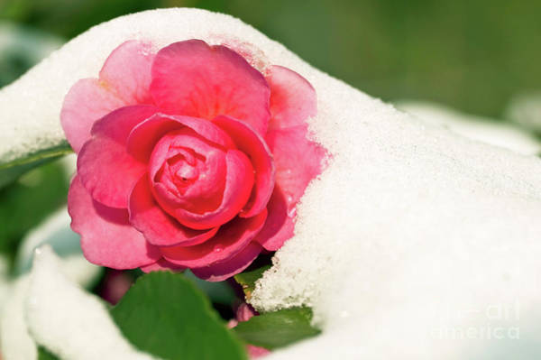 Wall Art - Photograph - Camellia Under The Snow by Delphimages Photo Creations