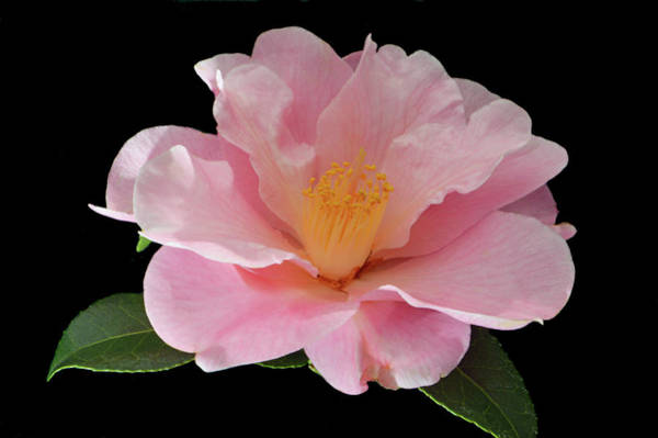 Wall Art - Photograph - Camellia X Williasii by Terence Davis