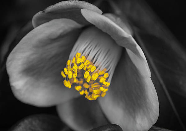 Photograph - Camellia Yellow Selective Color by Keith Smith