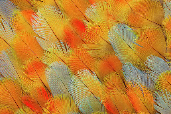 Macaw Photograph - Camelot Mawaw Feather Design by Darrell Gulin