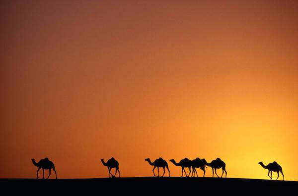 Dromedary Photograph - Camels Camelus Dromedarius Dubai by Kevin Morris