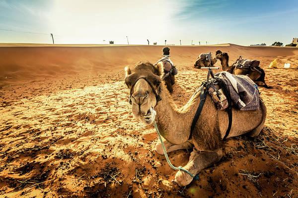Berber Wall Art - Photograph - Camels Caravan In The Sahara Desert At by Zodebala