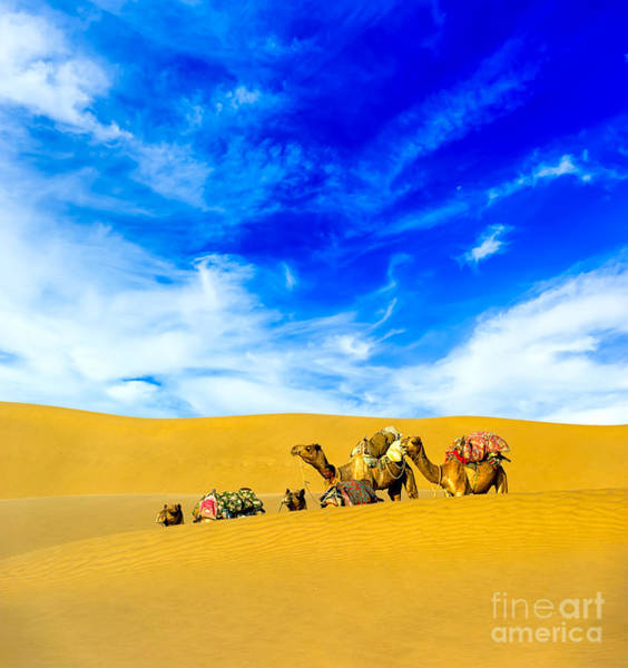 Wall Art - Photograph - Camels In Desert by Banana Republic Images