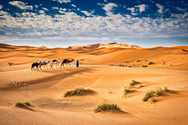 Photograph - Camels In The Sand Dunes - Morocco by Stuart Litoff