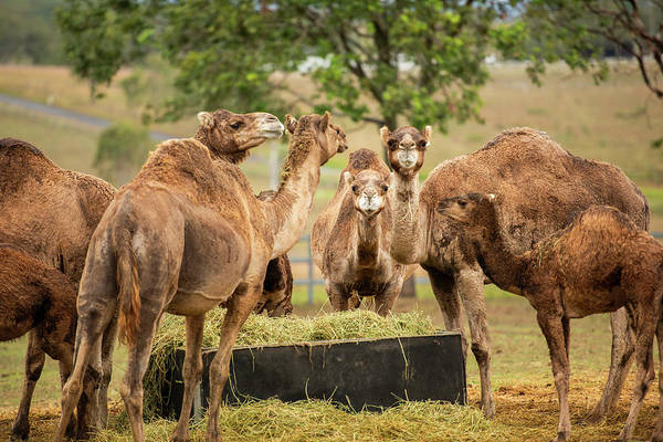 Photograph - Camels Out Amongst Nature by Rob D Imagery
