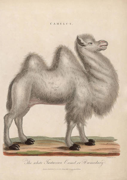 Dromedary Wall Art - Digital Art - Camelus by Hulton Archive