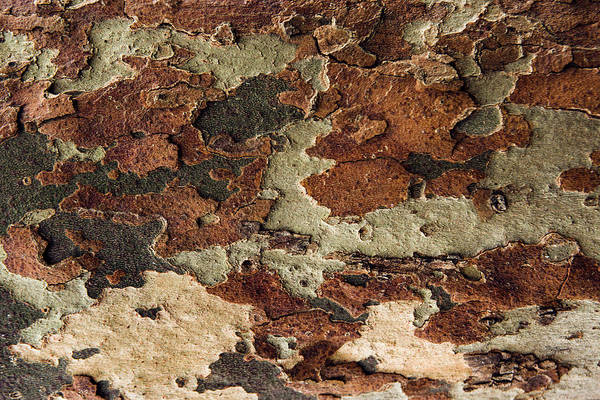 Mfa Wall Art - Photograph - Camouflage Tree Bark  by Iris Richardson
