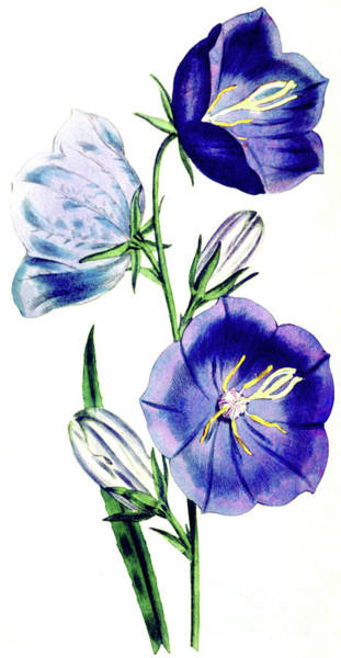 Wall Art - Painting - Campanula Persicifolia by English School