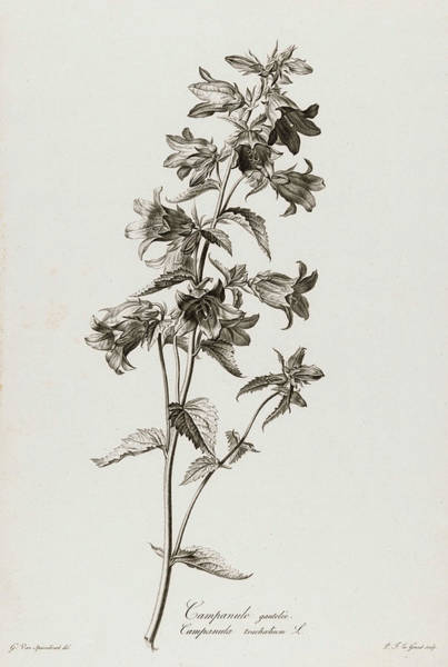 Wall Art - Painting - Campanula Trachelium, 1801 by Pierre Francois Legrand