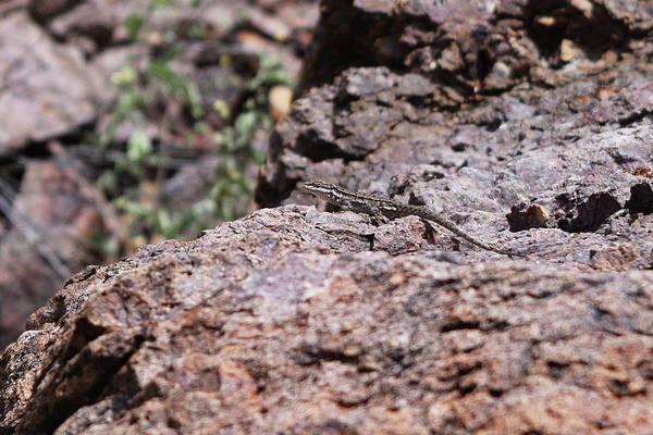 Photograph - Can You Spot The Lizard? by Chance Kafka