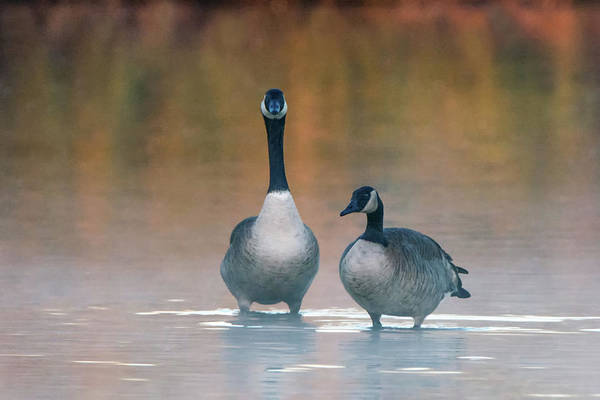 Photograph - Canada Geese 6633-122018-1 by Tam Ryan