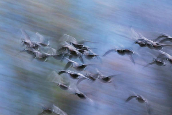 Wall Art - Photograph - Canada Geese, Abstract Motion by Ken Archer