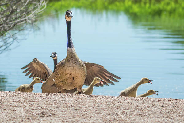 Photograph - Canada Geese And Adults 7496-041819 by Tam Ryan