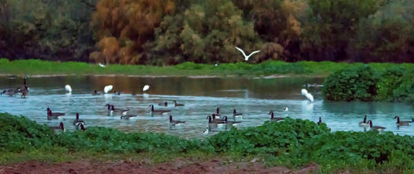 Photograph - Canada Geese And Egrets At Dawn 6950-122118-1 by Tam Ryan