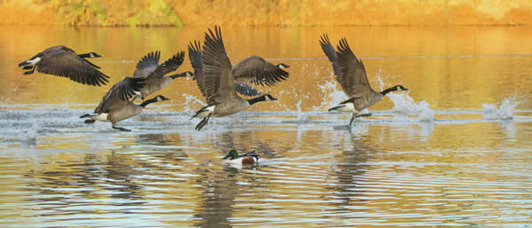 Photograph - Canada Geese And Northern Shoveler 2458-012119 by Tam Ryan