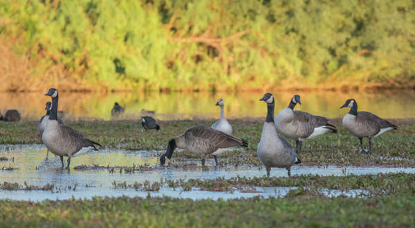 Photograph - Canada Geese And Snow Goose 0554-111718-1cr by Tam Ryan