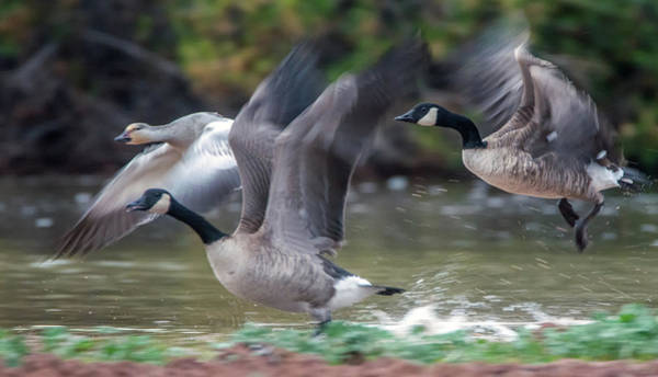 Photograph - Canada Geese And Snow Goose 2078-113018-1cr by Tam Ryan