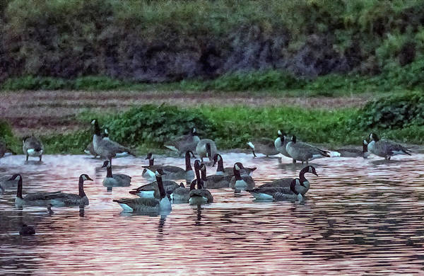 Photograph - Canada Geese At Dawn 6938-122118-1 by Tam Ryan