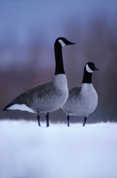 Art In Canada Photograph - Canada Geese Branta Canadensis In Snow by Art Wolfe