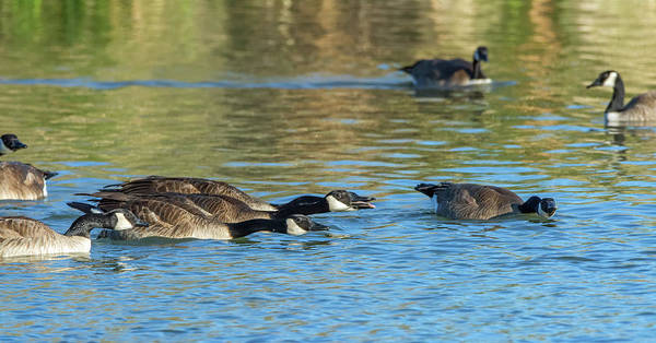 Photograph - Canada Geese Chase 9580-010219-1 by Tam Ryan