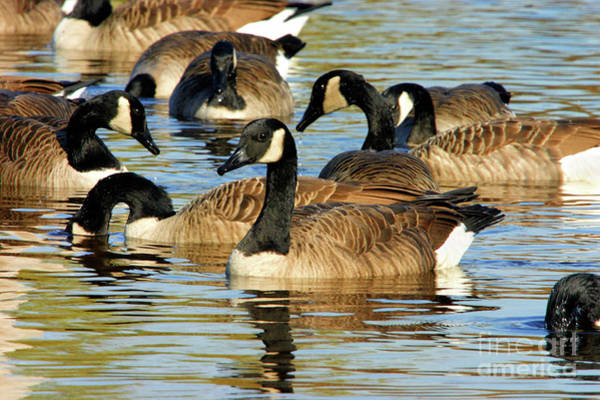 Photograph - Canada Geese by Debbie Stahre