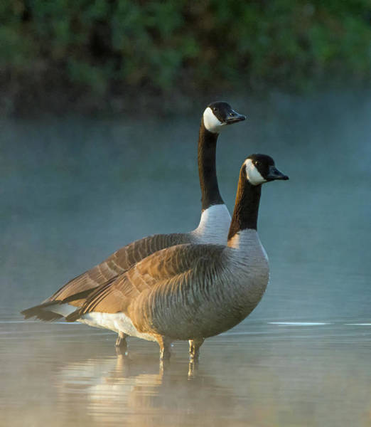 Photograph - Canada Geese In The Mist 1453-011919 by Tam Ryan