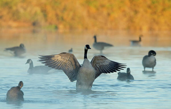 Photograph - Canada Geese In The Mist 5984-121718-2 by Tam Ryan