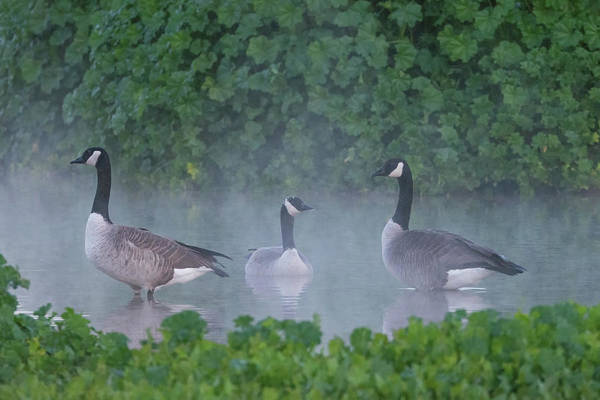 Photograph - Canada Geese In The Mist 7710-122618-1 by Tam Ryan