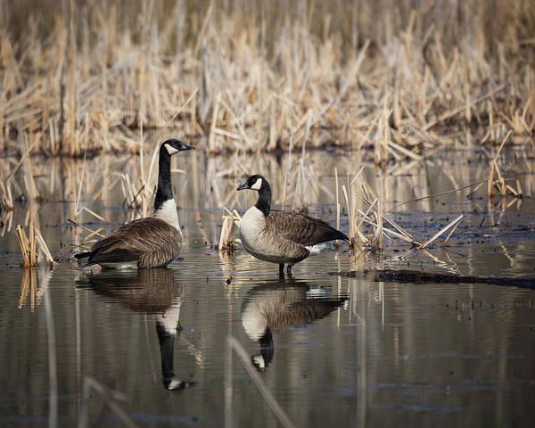 Photograph - Canada Geese On The Marsh by Jemmy Archer