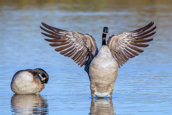 Photograph - Canada Geese Wing Flap 7653-122418-1 by Tam Ryan
