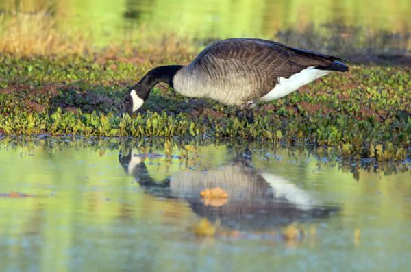 Photograph - Canada Goose 1346-111918-1cr by Tam Ryan