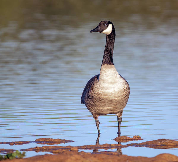 Photograph - Canada Goose 1360-111918-1cr by Tam Ryan