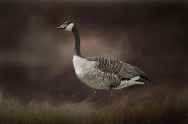 Photograph - Canada Goose 2 by Marilyn Wilson