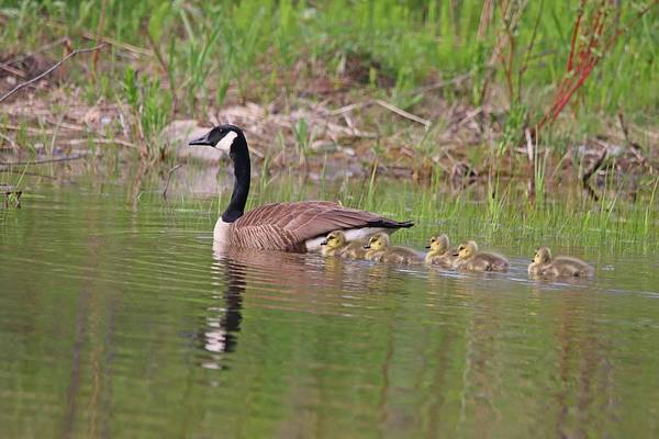 Mother Goose Photograph - Canada Goose And Goslings by Marlin and Laura Hum
