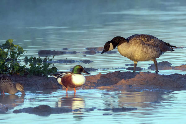 Photograph - Canada Goose And Northern Shovelers 6439-121918-1 by Tam Ryan