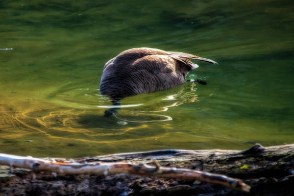 Photograph - Canada Goose Feeding Under Clear Water In Stream by Dan Friend