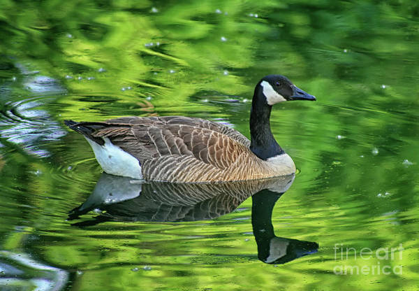 Photograph - Canada Goose Floating In Green by Karen Adams