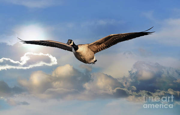 Photograph - Canada Goose Flying Over Clouds With The Sun At Wing Tip by Patrick Wolf