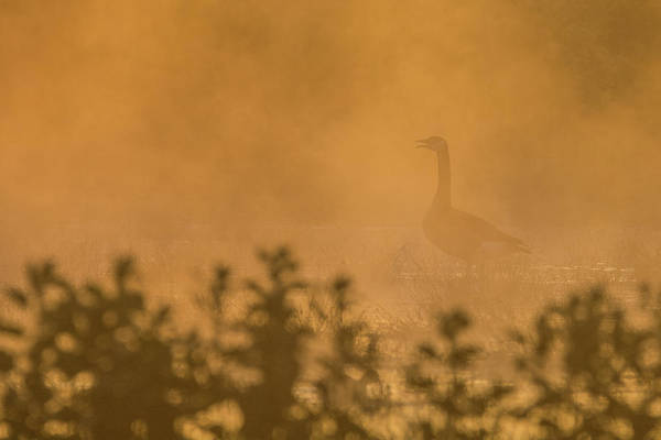 Photograph - Canada Goose In The Mist 3914-120918-1cr by Tam Ryan