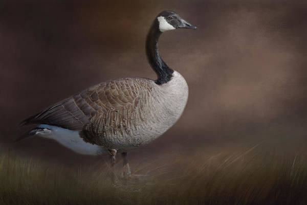 Photograph - Canada Goose by Marilyn Wilson