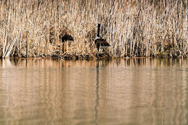 Photograph - Canada Goose Nest Building by Edward Peterson