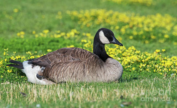 Photograph - Canada Goose by Nina Stavlund