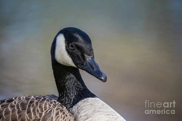 Photograph - Canada Goose Portrait by Eva Lechner