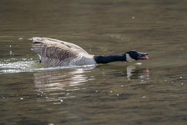 Photograph - Canada Goose Showing His Displeasure by Dan Friend