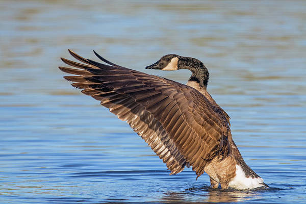 Photograph - Canada Goose Wing Flap 6256-121818-1 by Tam Ryan