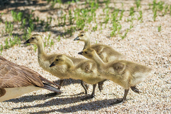 Photograph - Canada Goslings 7514-041819 by Tam Ryan