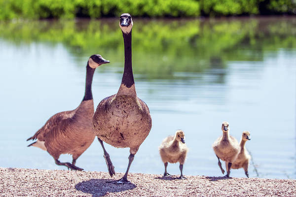 Photograph - Canada Goslings And Adults 7503-041819-2 by Tam Ryan