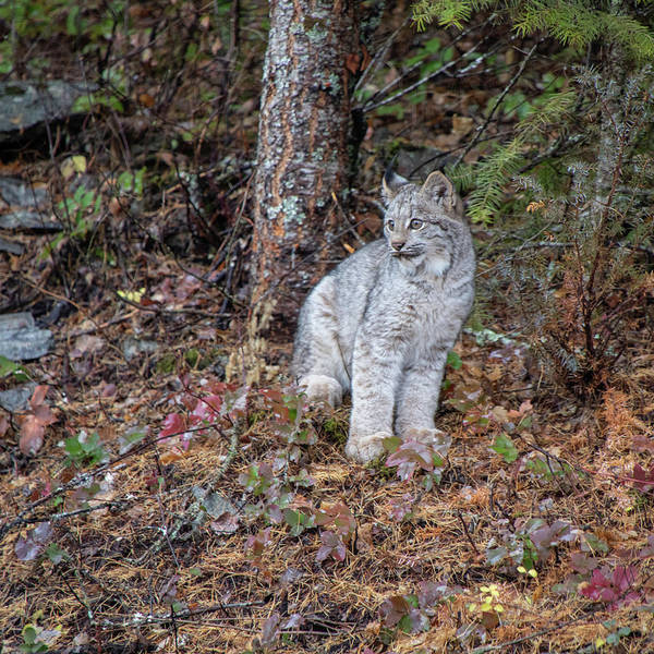 Photograph - Canada Lynx Kitten  7335 By Tl Wilson Photography by Teresa Wilson